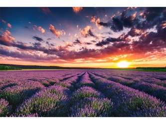 Lavender Field - Poster